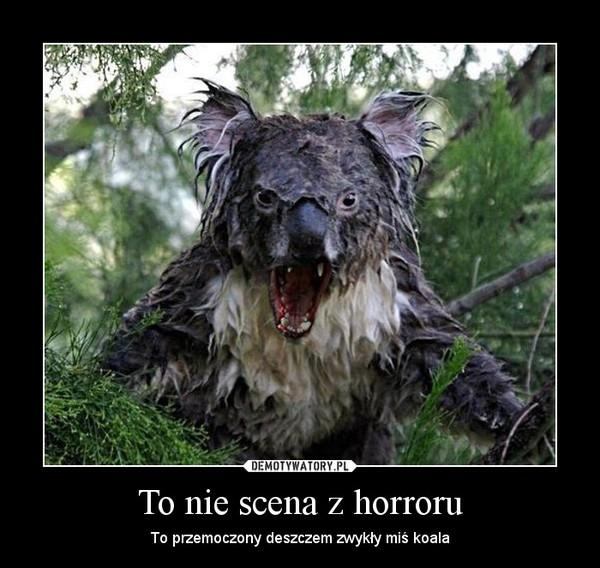 To nie scena z horroru – To przemoczony deszczem zwykły miś koala
