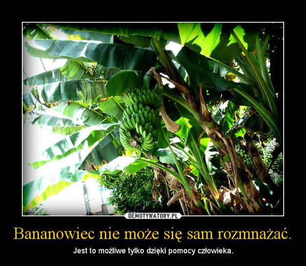 Bananowiec nie może się sam rozmnażać. – Jest to możliwe tylko dzięki pomocy człowieka.