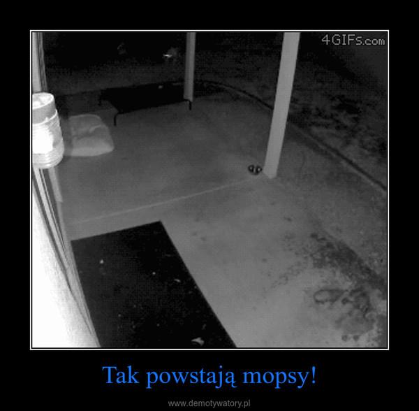 Tak powstają mopsy! –