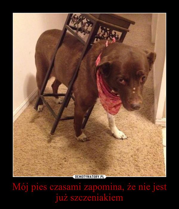 Mój pies czasami zapomina, że nie jest już szczeniakiem –