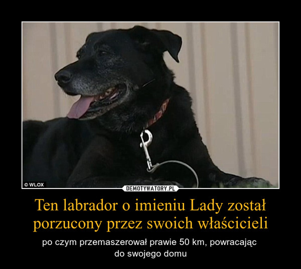 Ten labrador o imieniu Lady został porzucony przez swoich właścicieli – po czym przemaszerował prawie 50 km, powracając \ndo swojego domu