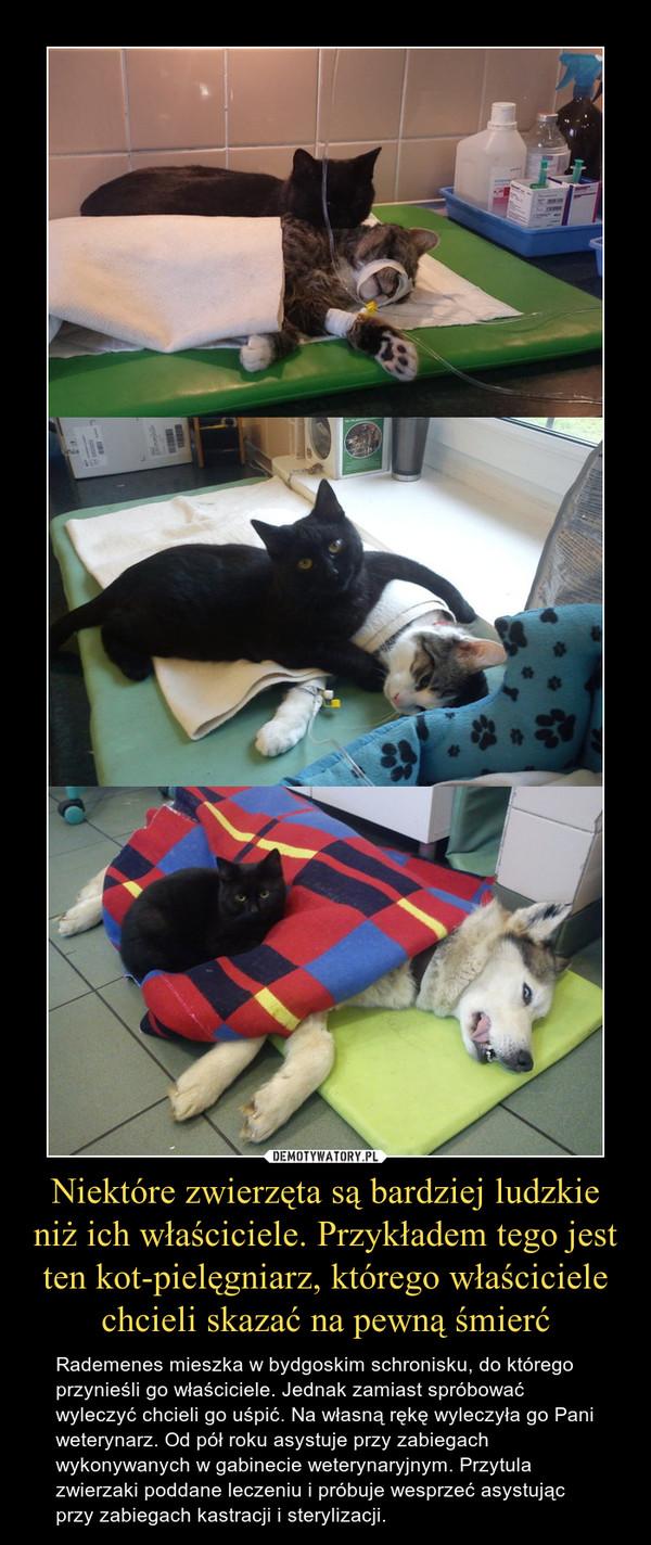 Niektóre zwierzęta są bardziej ludzkie niż ich właściciele. Przykładem tego jest ten kot-pielęgniarz, którego właściciele chcieli skazać na pewną śmierć – Rademenes mieszka w bydgoskim schronisku, do którego przynieśli go właściciele. Jednak zamiast spróbować wyleczyć chcieli go uśpić. Na własną rękę wyleczyła go Pani weterynarz. Od pół roku asystuje przy zabiegach wykonywanych w gabinecie weterynaryjnym. Przytula zwierzaki poddane leczeniu i próbuje wesprzeć asystując przy zabiegach kastracji i sterylizacji.