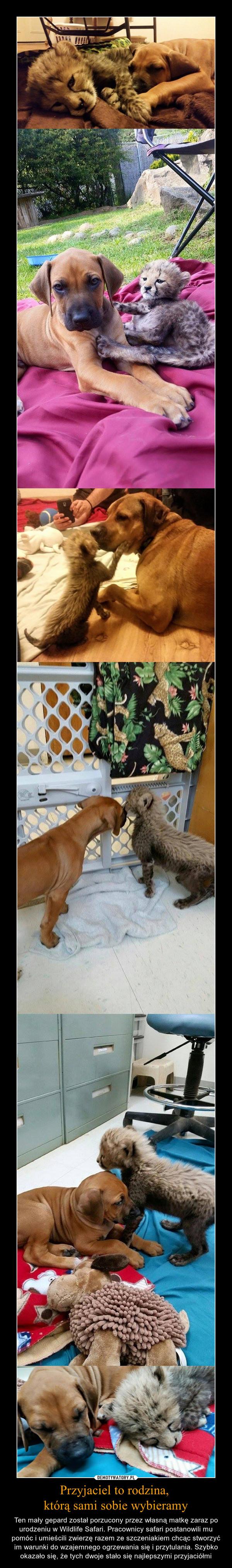 Przyjaciel to rodzina, którą sami sobie wybieramy – Ten mały gepard został porzucony przez własną matkę zaraz po urodzeniu w Wildlife Safari. Pracownicy safari postanowili mu pomóc i umieścili zwierzę razem ze szczeniakiem chcąc stworzyć im warunki do wzajemnego ogrzewania się i przytulania. Szybko okazało się, że tych dwoje stało się najlepszymi przyjaciółmi