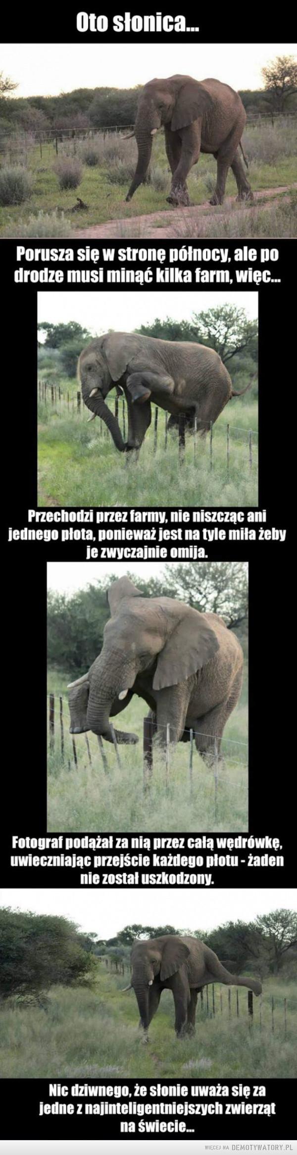 Niektóre zwierzęta mają więcej rozumu niż człowiek... –  Oto słonicaPorusza się w stronę północy, ale po drodze musi minąć kilka farm, więc... Przechodzi przez farmy, nie niszcząc ani jednego plota, ponieważ jest na tyle miła żeby je zwyczajnie omija. Fotograf podążał za nią przez cale wędrówkę, uwieczniając przejście każdego płotu - żaden nie został uszkodzony. Nic dziwnego, że słonie uważa się za jedne z najinteligentniejszych zwierząt na świecie... Niektóre zwierzęta mają więcej rozumu niż człowiek...