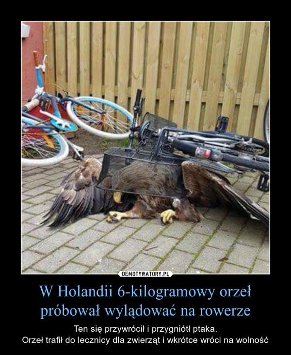 W Holandii 6-kilogramowy orzeł próbował wylądować na rowerze – Ten się przywrócił i przygniótł ptaka.Orzeł trafił do lecznicy dla zwierząt i wkrótce wróci na wolność