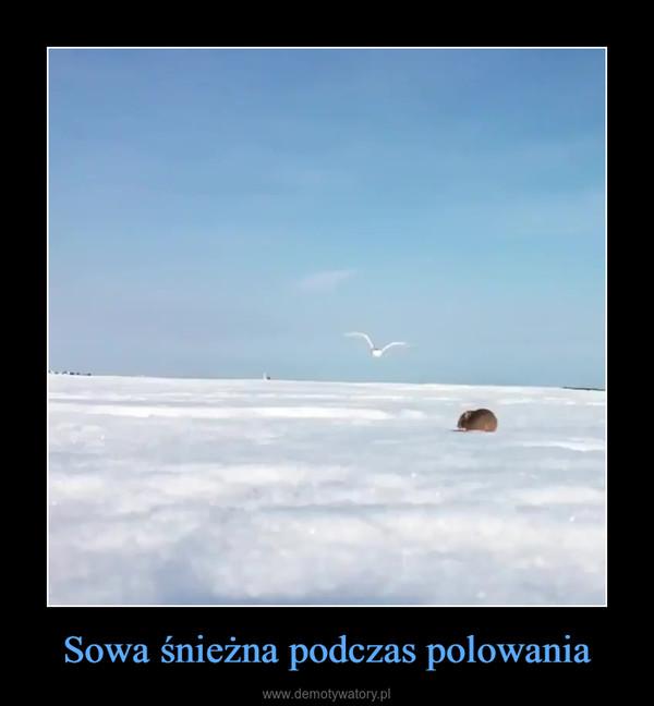 Sowa śnieżna podczas polowania –