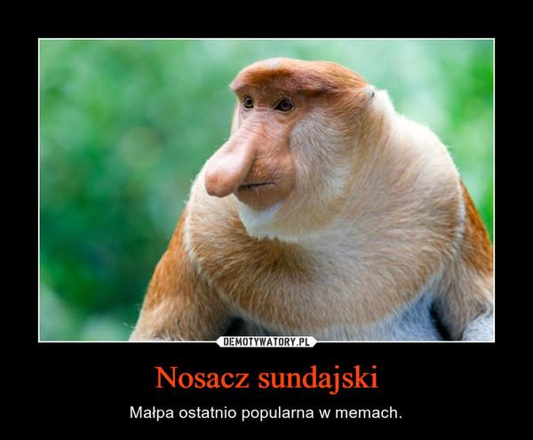 Nosacz sundajski – Małpa ostatnio popularna w memach.
