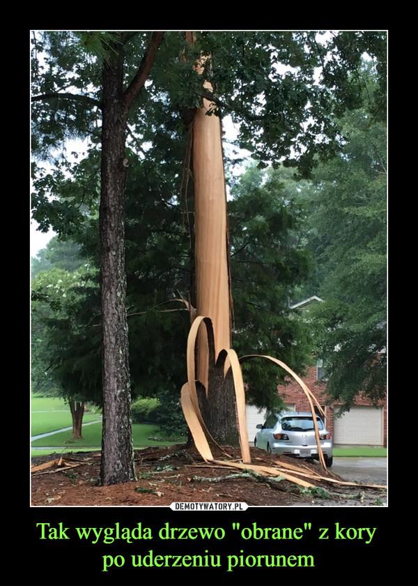 """Tak wygląda drzewo """"obrane"""" z kory po uderzeniu piorunem –"""