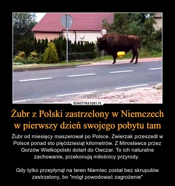 """Żubr z Polski zastrzelony w Niemczech w pierwszy dzień swojego pobytu tam – Żubr od miesięcy maszerował po Polsce. Zwierzak przeszedł w Polsce ponad sto pięćdziesiąt kilometrów. Z Mirosławca przez Gorzów Wielkopolski dotarł do Owczar. To ich naturalne zachowanie, przekonują miłośnicy przyrody. Gdy tylko przepłynął na teren Niemiec został bez skrupułów zastrzelony, bo """"mógł powodować zagrożenie"""""""