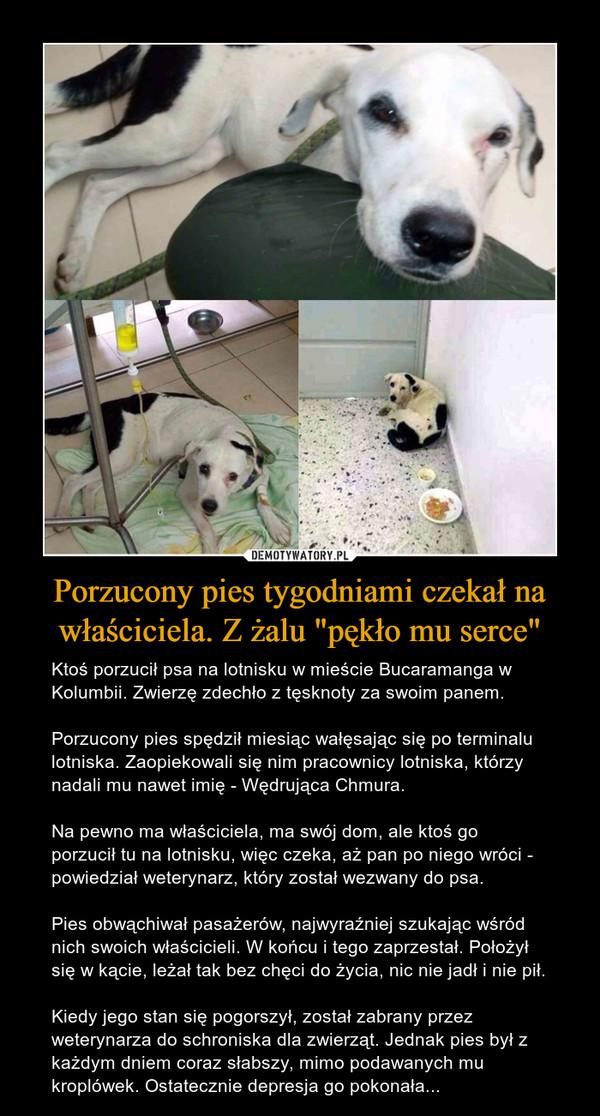 """Porzucony pies tygodniami czekał na właściciela. Z żalu """"pękło mu serce"""" – Ktoś porzucił psa na lotnisku w mieście Bucaramanga w Kolumbii. Zwierzę zdechło z tęsknoty za swoim panem.Porzucony pies spędził miesiąc wałęsając się po terminalu lotniska. Zaopiekowali się nim pracownicy lotniska, którzy nadali mu nawet imię - Wędrująca Chmura.Na pewno ma właściciela, ma swój dom, ale ktoś go porzucił tu na lotnisku, więc czeka, aż pan po niego wróci - powiedział weterynarz, który został wezwany do psa.Pies obwąchiwał pasażerów, najwyraźniej szukając wśród nich swoich właścicieli. W końcu i tego zaprzestał. Położył się w kącie, leżał tak bez chęci do życia, nic nie jadł i nie pił.Kiedy jego stan się pogorszył, został zabrany przez weterynarza do schroniska dla zwierząt. Jednak pies był z każdym dniem coraz słabszy, mimo podawanych mu kroplówek. Ostatecznie depresja go pokonała..."""