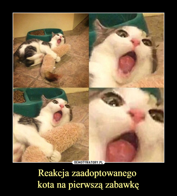 Reakcja zaadoptowanego kota na pierwszą zabawkę –