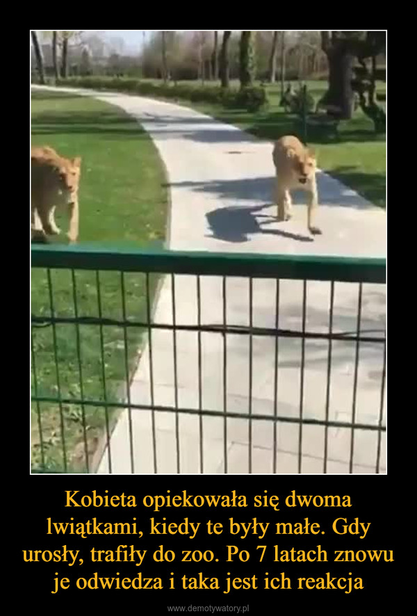 Kobieta opiekowała się dwoma lwiątkami, kiedy te były małe. Gdy urosły, trafiły do zoo. Po 7 latach znowu je odwiedza i taka jest ich reakcja –