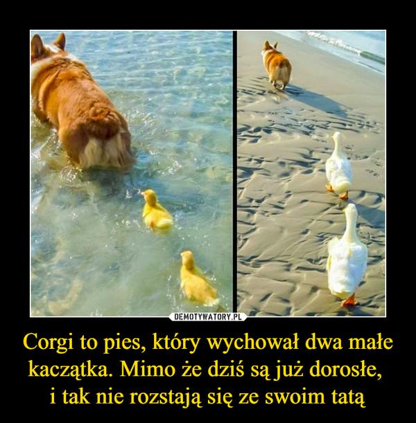 Corgi to pies, który wychował dwa małe kaczątka. Mimo że dziś są już dorosłe, i tak nie rozstają się ze swoim tatą –