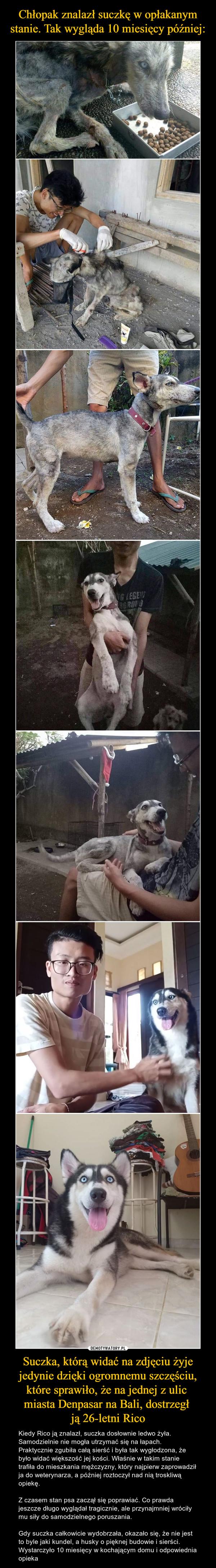 Suczka, którą widać na zdjęciu żyje jedynie dzięki ogromnemu szczęściu, które sprawiło, że na jednej z ulic miasta Denpasar na Bali, dostrzegł ją 26-letni Rico – Kiedy Rico ją znalazł, suczka dosłownie ledwo żyła. Samodzielnie nie mogła utrzymać się na łapach. Praktycznie zgubiła całą sierść i była tak wygłodzona, że było widać większość jej kości. Właśnie w takim stanie trafiła do mieszkania mężczyzny, który najpierw zaprowadził ja do weterynarza, a później roztoczył nad nią troskliwą opiekę.Z czasem stan psa zaczął się poprawiać. Co prawda jeszcze długo wyglądał tragicznie, ale przynajmniej wróciły mu siły do samodzielnego poruszania.Gdy suczka całkowicie wydobrzała, okazało się, że nie jest to byle jaki kundel, a husky o pięknej budowie i sierści. Wystarczyło 10 miesięcy w kochającym domu i odpowiednia opieka