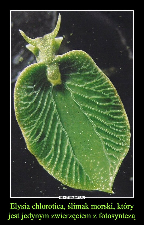 Elysia chlorotica, ślimak morski, który jest jedynym zwierzęciem z fotosyntezą