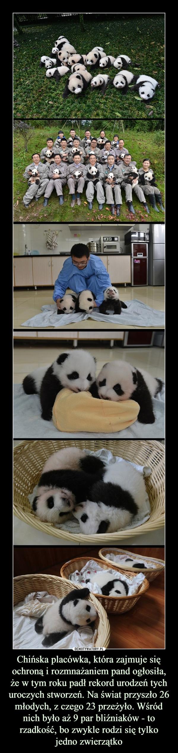 Chińska placówka, która zajmuje się ochroną i rozmnażaniem pand ogłosiła, że w tym roku padł rekord urodzeń tych uroczych stworzeń. Na świat przyszło 26 młodych, z czego 23 przeżyło. Wśródnich było aż 9 par bliźniaków - to rzadkość, bo zwykle rodzi się tylko jedno zwierzątko –