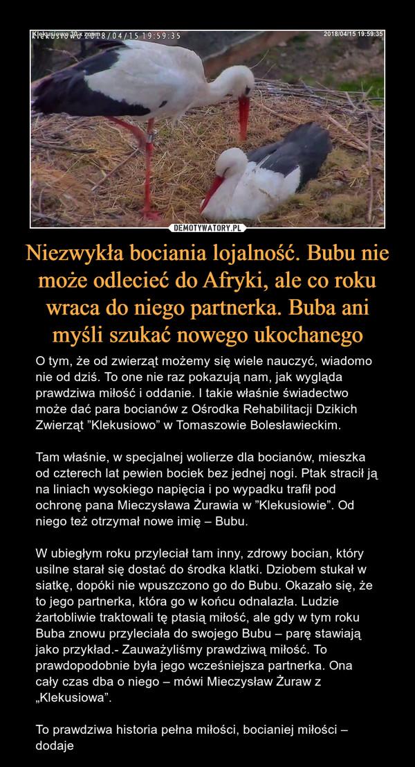 """Niezwykła bociania lojalność. Bubu nie może odlecieć do Afryki, ale co roku wraca do niego partnerka. Buba ani myśli szukać nowego ukochanego – O tym, że od zwierząt możemy się wiele nauczyć, wiadomo nie od dziś. To one nie raz pokazują nam, jak wygląda prawdziwa miłość i oddanie. I takie właśnie świadectwo może dać para bocianów z Ośrodka Rehabilitacji Dzikich Zwierząt """"Klekusiowo"""" w Tomaszowie Bolesławieckim.Tam właśnie, w specjalnej wolierze dla bocianów, mieszka od czterech lat pewien bociek bez jednej nogi. Ptak stracił ją na liniach wysokiego napięcia i po wypadku trafił pod ochronę pana Mieczysława Żurawia w """"Klekusiowie"""". Od niego też otrzymał nowe imię – Bubu.W ubiegłym roku przyleciał tam inny, zdrowy bocian, który usilne starał się dostać do środka klatki. Dziobem stukał w siatkę, dopóki nie wpuszczono go do Bubu. Okazało się, że to jego partnerka, która go w końcu odnalazła. Ludzie żartobliwie traktowali tę ptasią miłość, ale gdy w tym roku Buba znowu przyleciała do swojego Bubu – parę stawiają jako przykład.- Zauważyliśmy prawdziwą miłość. To prawdopodobnie była jego wcześniejsza partnerka. Ona cały czas dba o niego – mówi Mieczysław Żuraw z """"Klekusiowa"""".To prawdziwa historia pełna miłości, bocianiej miłości – dodaje"""