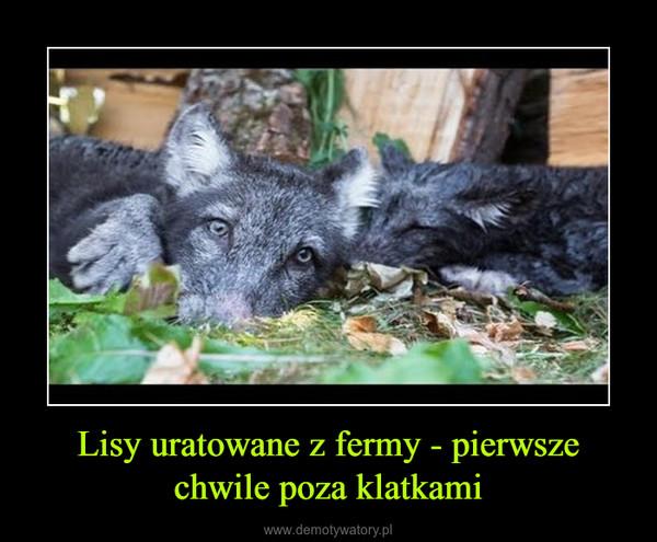 Lisy uratowane z fermy - pierwsze chwile poza klatkami –