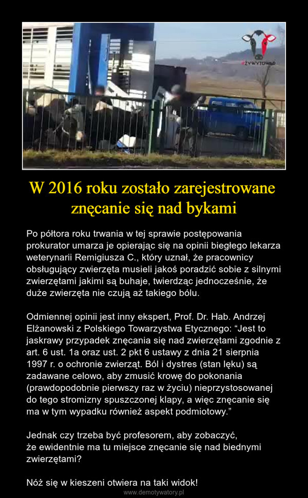 """W 2016 roku zostało zarejestrowane znęcanie się nad bykami – Po półtora roku trwania w tej sprawie postępowania prokurator umarza je opierając się na opinii biegłego lekarza weterynarii Remigiusza C., który uznał, że pracownicy obsługujący zwierzęta musieli jakoś poradzić sobie z silnymi zwierzętami jakimi są buhaje, twierdząc jednocześnie, że duże zwierzęta nie czują aż takiego bólu.Odmiennej opinii jest inny ekspert, Prof. Dr. Hab. Andrzej Elżanowski z Polskiego Towarzystwa Etycznego: """"Jest to jaskrawy przypadek znęcania się nad zwierzętami zgodnie z art. 6 ust. 1a oraz ust. 2 pkt 6 ustawy z dnia 21 sierpnia 1997 r. o ochronie zwierząt. Ból i dystres (stan lęku) są zadawane celowo, aby zmusić krowę do pokonania (prawdopodobnie pierwszy raz w życiu) nieprzystosowanej do tego stromizny spuszczonej klapy, a więc znęcanie się ma w tym wypadku również aspekt podmiotowy.""""Jednak czy trzeba być profesorem, aby zobaczyć, że ewidentnie ma tu miejsce znęcanie się nad biednymi zwierzętami?Nóż się w kieszeni otwiera na taki widok!"""
