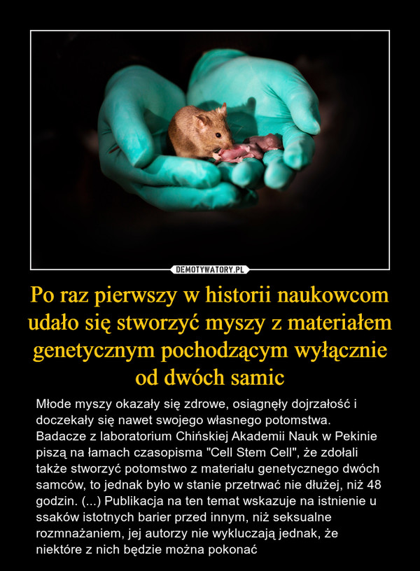 """Po raz pierwszy w historii naukowcom udało się stworzyć myszy z materiałem genetycznym pochodzącym wyłącznie od dwóch samic – Młode myszy okazały się zdrowe, osiągnęły dojrzałość i doczekały się nawet swojego własnego potomstwa. Badacze z laboratorium Chińskiej Akademii Nauk w Pekinie piszą na łamach czasopisma """"Cell Stem Cell"""", że zdołali także stworzyć potomstwo z materiału genetycznego dwóch samców, to jednak było w stanie przetrwać nie dłużej, niż 48 godzin. (...) Publikacja na ten temat wskazuje na istnienie u ssaków istotnych barier przed innym, niż seksualne rozmnażaniem, jej autorzy nie wykluczają jednak, że niektóre z nich będzie można pokonać"""