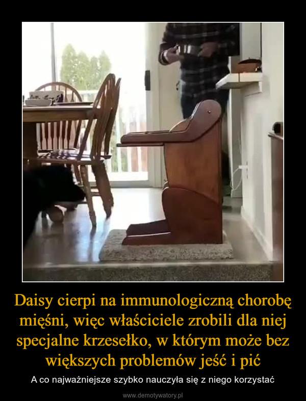 Daisy cierpi na immunologiczną chorobę mięśni, więc właściciele zrobili dla niej specjalne krzesełko, w którym może bez większych problemów jeść i pić – A co najważniejsze szybko nauczyła się z niego korzystać