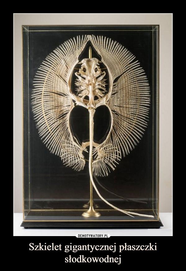 Szkielet gigantycznej płaszczki słodkowodnej –