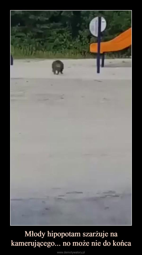 Młody hipopotam szarżuje na kamerującego... no może nie do końca –