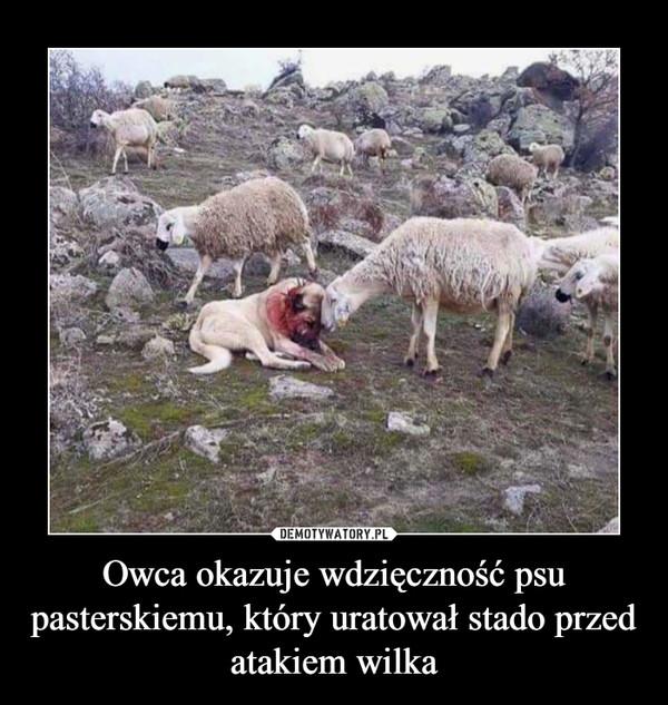 Owca okazuje wdzięczność psu pasterskiemu, który uratował stado przed atakiem wilka –