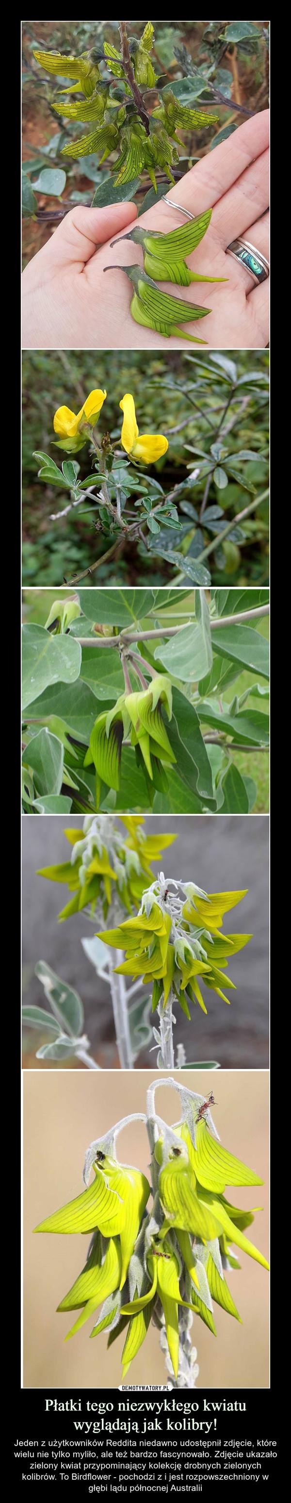 Płatki tego niezwykłego kwiatu wyglądają jak kolibry! – Jeden z użytkowników Reddita niedawno udostępnił zdjęcie, które wielu nie tylko myliło, ale też bardzo fascynowało. Zdjęcie ukazało zielony kwiat przypominający kolekcję drobnych zielonych kolibrów. To Birdflower - pochodzi z i jest rozpowszechniony w głębi lądu północnej Australii