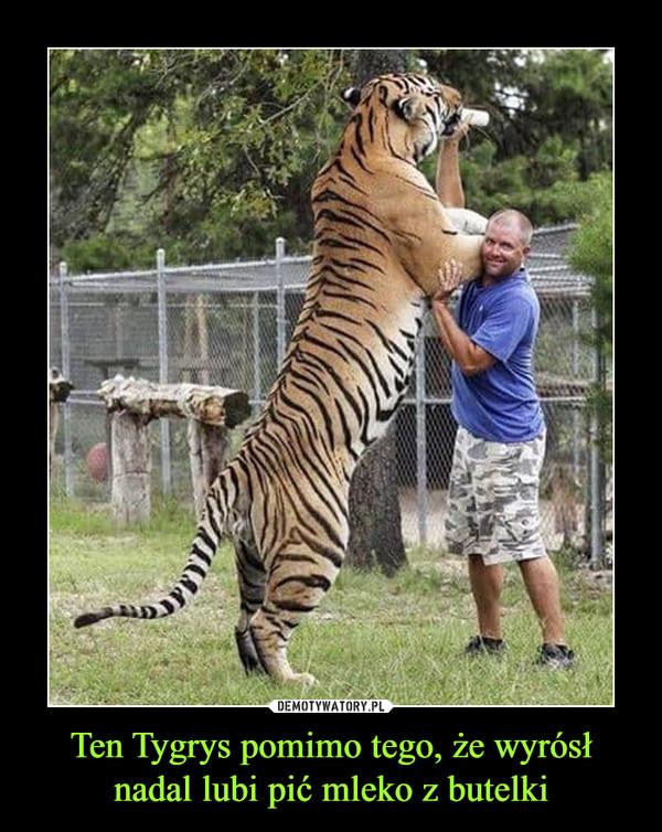 Ten Tygrys pomimo tego, że wyrósł nadal lubi pić mleko z butelki –