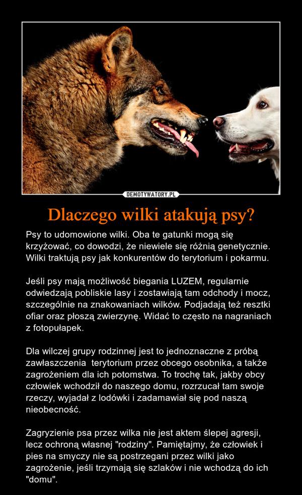 """Dlaczego wilki atakują psy? – Psy to udomowione wilki. Oba te gatunki mogą się krzyżować, co dowodzi, że niewiele się różnią genetycznie. Wilki traktują psy jak konkurentów do terytorium i pokarmu. Jeśli psy mają możliwość biegania LUZEM, regularnie odwiedzają pobliskie lasy i zostawiają tam odchody i mocz, szczególnie na znakowaniach wilków. Podjadają też resztki ofiar oraz płoszą zwierzynę. Widać to często na nagraniach z fotopułapek. Dla wilczej grupy rodzinnej jest to jednoznaczne z próbą zawłaszczenia  terytorium przez obcego osobnika, a także zagrożeniem dla ich potomstwa. To trochę tak, jakby obcy człowiek wchodził do naszego domu, rozrzucał tam swoje rzeczy, wyjadał z lodówki i zadamawiał się pod naszą nieobecność. Zagryzienie psa przez wilka nie jest aktem ślepej agresji, lecz ochroną własnej """"rodziny"""". Pamiętajmy, że człowiek i pies na smyczy nie są postrzegani przez wilki jako zagrożenie, jeśli trzymają się szlaków i nie wchodzą do ich """"domu""""."""