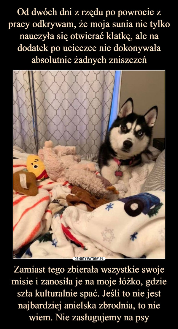 Zamiast tego zbierała wszystkie swoje misie i zanosiła je na moje łóżko, gdzie szła kulturalnie spać. Jeśli to nie jest najbardziej anielska zbrodnia, to nie wiem. Nie zasługujemy na psy –
