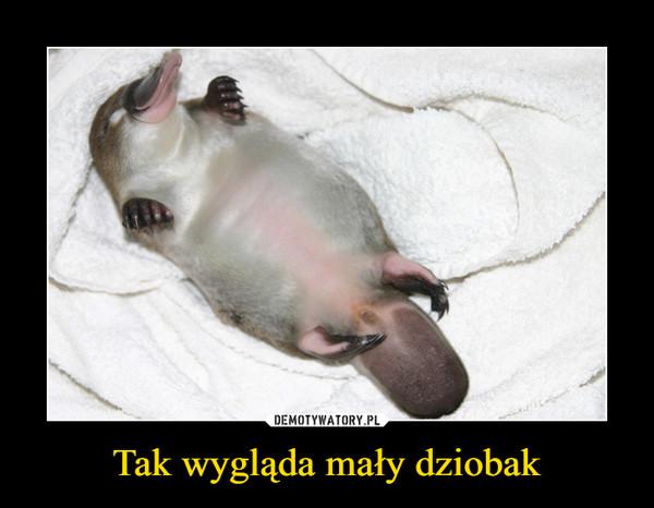 Tak wygląda mały dziobak –
