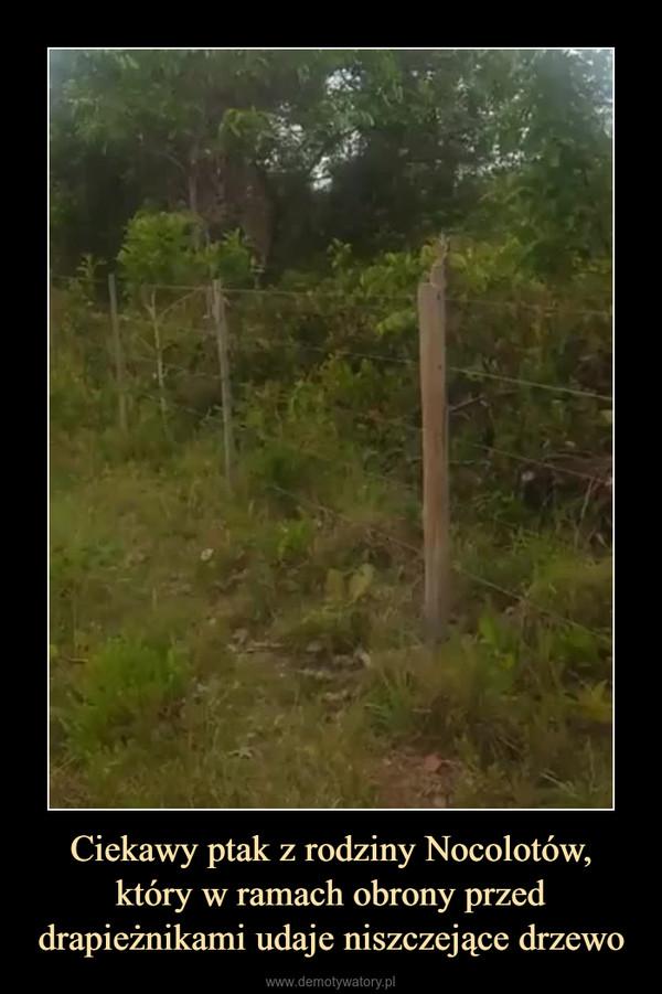 Ciekawy ptak z rodziny Nocolotów, który w ramach obrony przed drapieżnikami udaje niszczejące drzewo –
