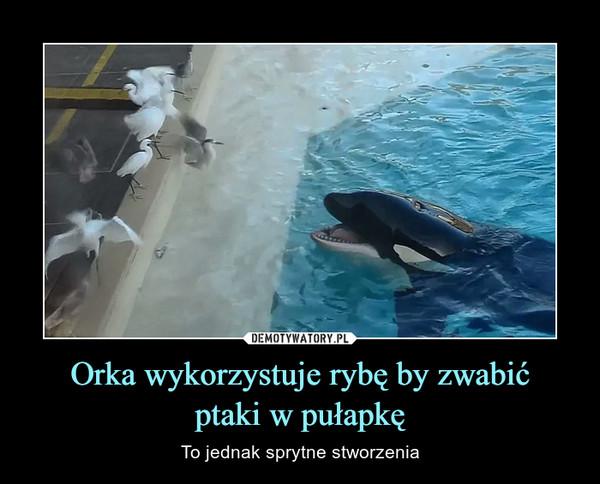 Orka wykorzystuje rybę by zwabićptaki w pułapkę – To jednak sprytne stworzenia