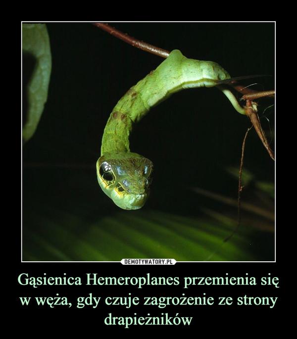 Gąsienica Hemeroplanes przemienia się w węża, gdy czuje zagrożenie ze strony drapieżników –