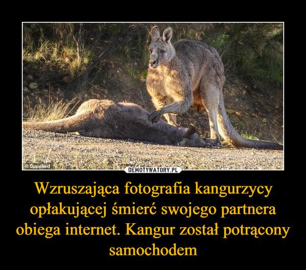 Wzruszająca fotografia kangurzycy opłakującej śmierć swojego partnera obiega internet. Kangur został potrącony samochodem –