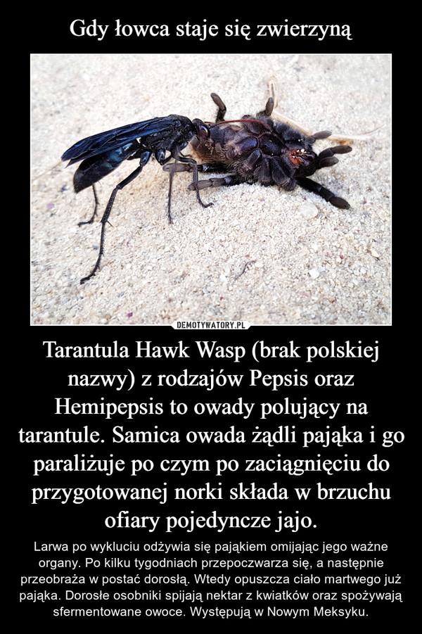 Tarantula Hawk Wasp (brak polskiej nazwy) z rodzajów Pepsis oraz Hemipepsis to owady polujący na tarantule. Samica owada żądli pająka i go paraliżuje po czym po zaciągnięciu do przygotowanej norki składa w brzuchu ofiary pojedyncze jajo. – Larwa po wykluciu odżywia się pająkiem omijając jego ważne organy. Po kilku tygodniach przepoczwarza się, a następnie przeobraża w postać dorosłą. Wtedy opuszcza ciało martwego już pająka. Dorosłe osobniki spijają nektar z kwiatków oraz spożywają sfermentowane owoce. Występują w Nowym Meksyku.