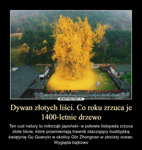 Dywan złotych liści. Co roku zrzuca je 1400-letnie drzewo