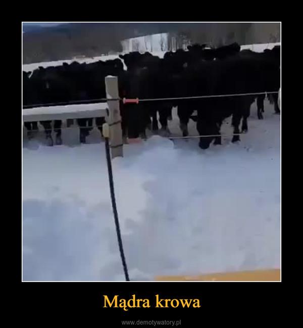 Mądra krowa –