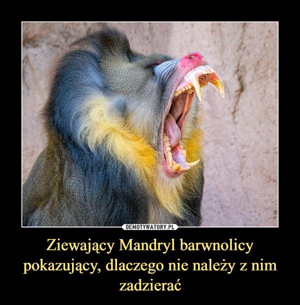 Ziewający Mandryl barwnolicy pokazujący, dlaczego nie należy z nim zadzierać –
