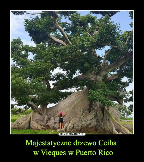 Majestatyczne drzewo Ceiba  w Vieques w Puerto Rico –