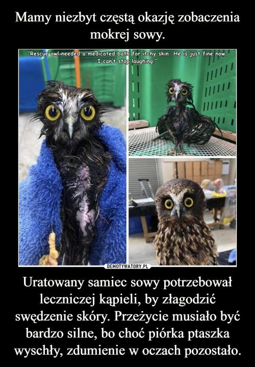 Mamy niezbyt częstą okazję zobaczenia mokrej sowy. Uratowany samiec sowy potrzebował leczniczej kąpieli, by złagodzić swędzenie skóry. Przeżycie musiało być bardzo silne, bo choć piórka ptaszka wyschły, zdumienie w oczach pozostało.