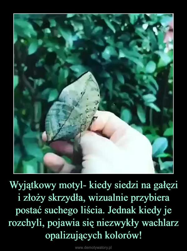 Wyjątkowy motyl- kiedy siedzi na gałęzi i złoży skrzydła, wizualnie przybiera postać suchego liścia. Jednak kiedy je rozchyli, pojawia się niezwykły wachlarz opalizujących kolorów! –