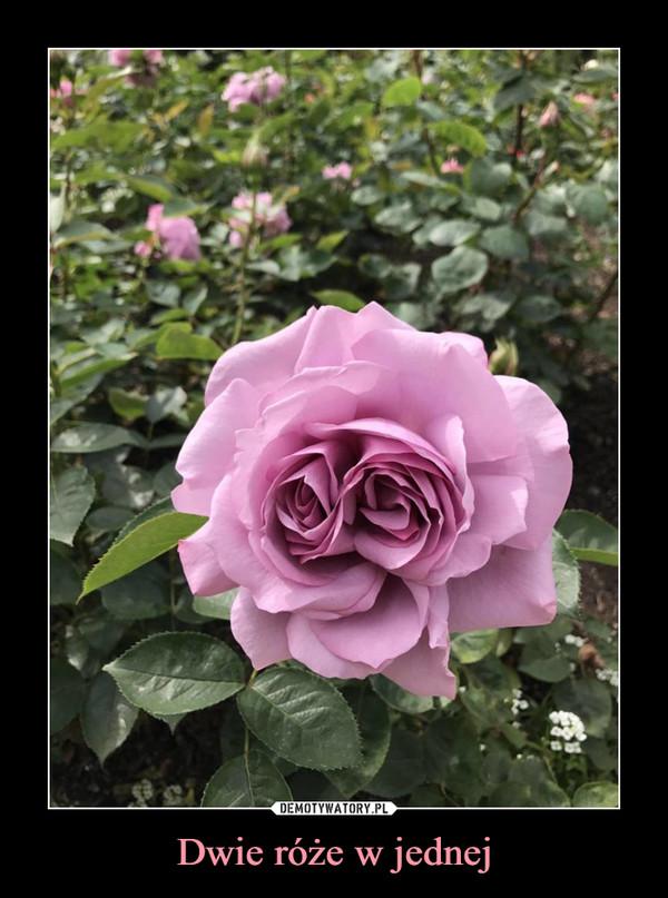 Dwie róże w jednej –