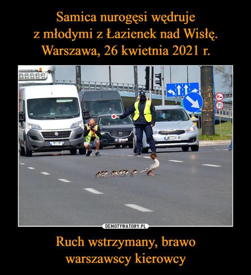 Samica nurogęsi wędruje z młodymi z Łazienek nad Wisłę. Warszawa, 26 kwietnia 2021 r. Ruch wstrzymany, brawo warszawscy kierowcy
