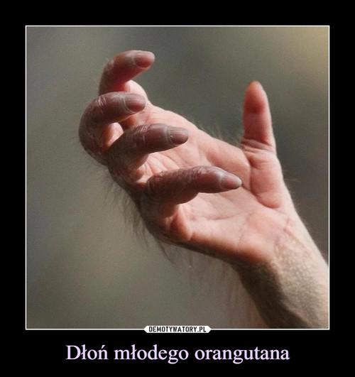 Dłoń młodego orangutana